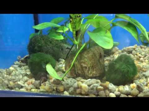 Marimo moss ball care - benefits to a fish tank