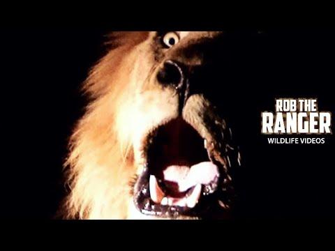 High definition roar!!! wild lion: majestic, close up, powerful, fantastic!